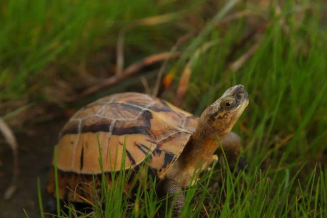 黃額閉殼龜