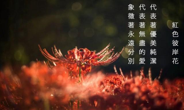 彼岸花的花語與象徵