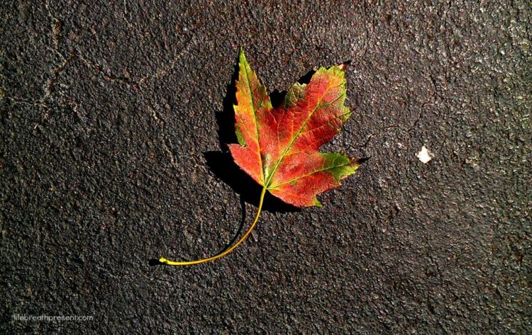 31 days of photography, leaf, colorful leaf, fall