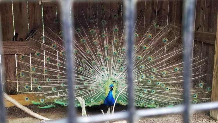 peacock, barnyard, animal, animals, bird, feathers, zoo