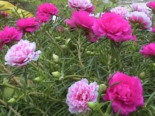 Zubic bay: Pink weeds.