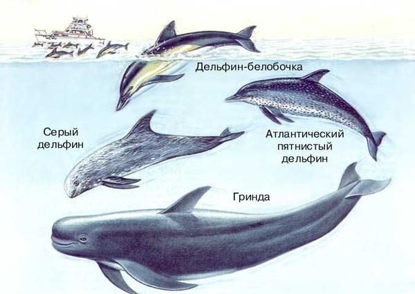 delfin uyasi oyin