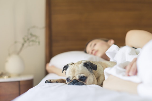 Image of woman sleeping in bed while pug lies awake