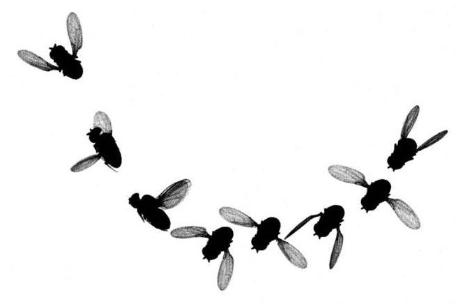 Fruit-fly-evasive-maneuver