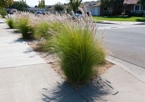 front parkway xeriscape with drought tolerant plants and grasses: Update on Xeriscaping the Front Parkway