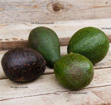 comparing avocados