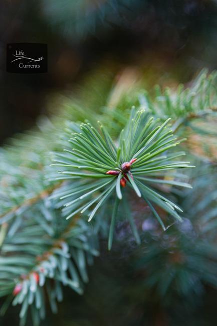 Healing Evergreen Tea: Blue Spruce