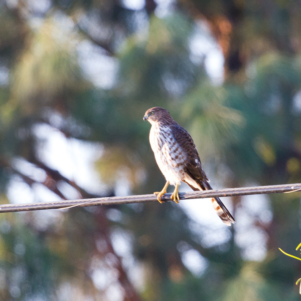 a hawk on a wire spotted while backyard birding