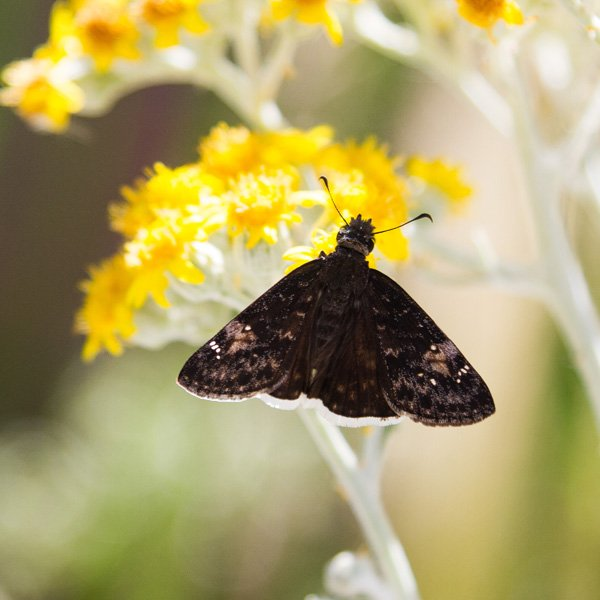 a black butterfly on a yellow flower spotted while backyard birding