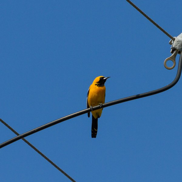 a Hooded Oriole on a wire seen while backyard birding
