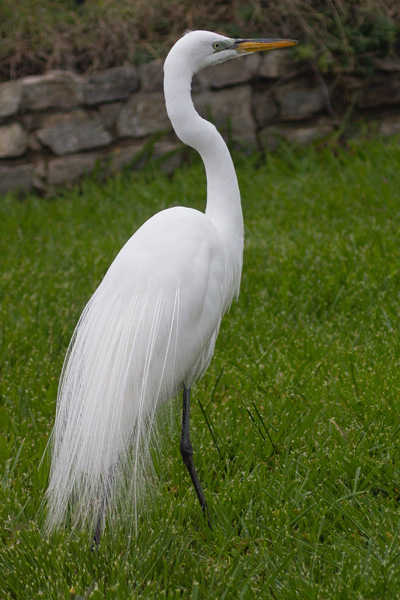 a Great Egret on a lawn seen while backyard birding
