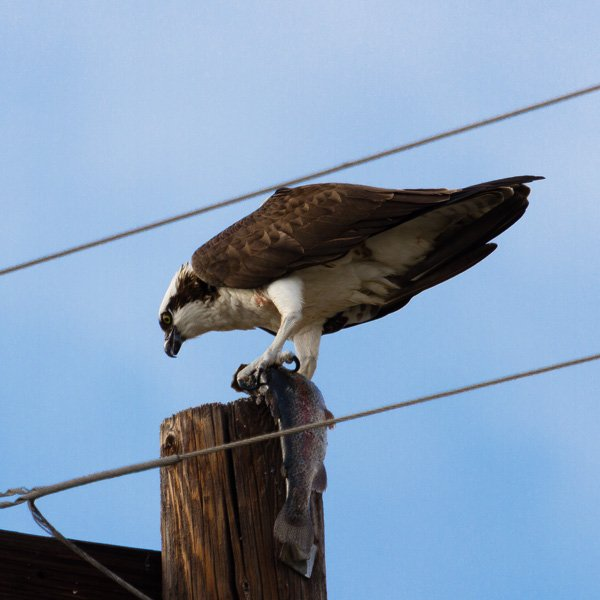 An osprey eating a fish while standing on top of a telephone pole spotted while backyard birding