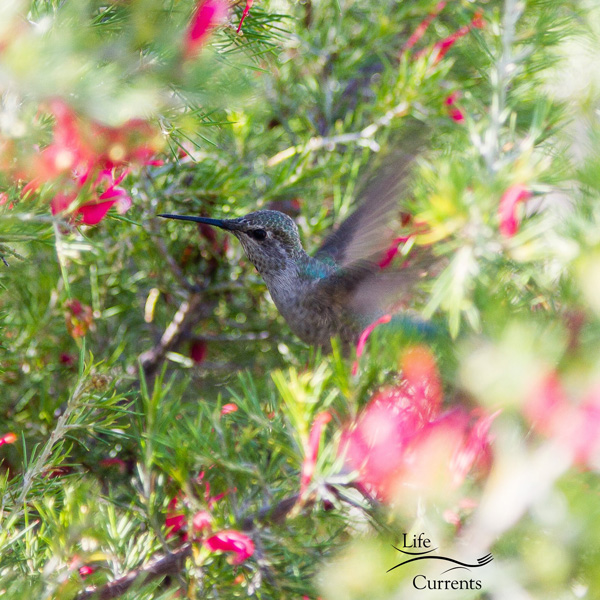 a hummingbird flying spotted while backyard birding
