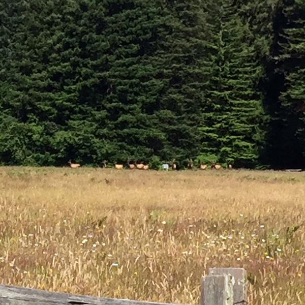 Elk in Elk Meadow, across the field