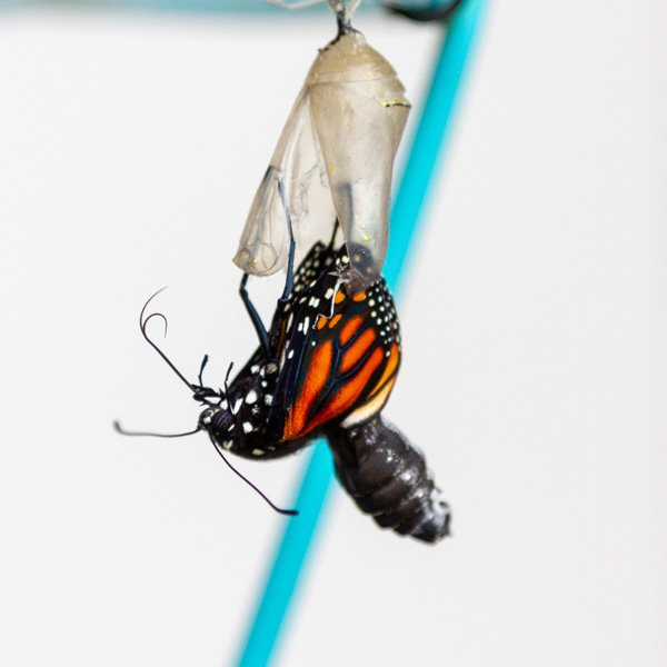 the monarch butterfly is emerging from the chrysalis.