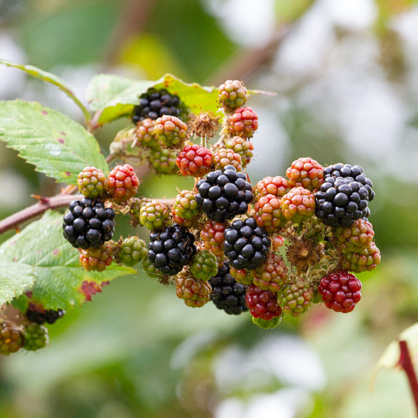 blackberres growing on a vine.