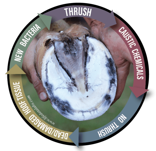 Cycle of Thrush in horses