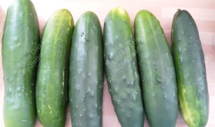 Freshly harvested short cucumbers
