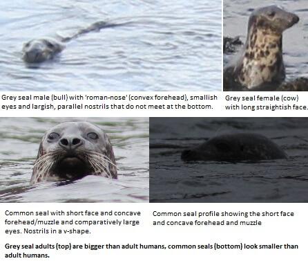 Grey seal and common seal comparison