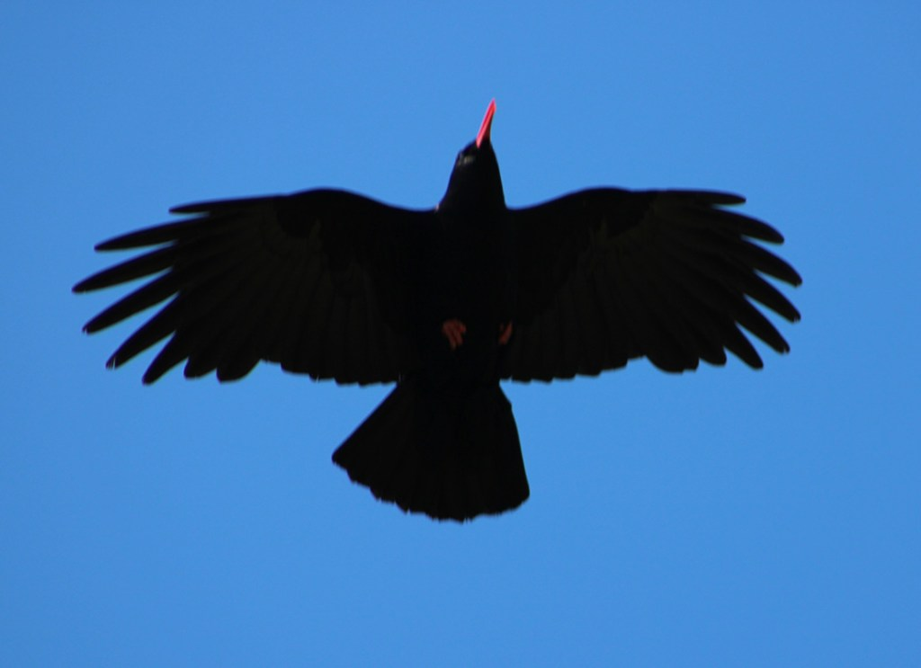 Red beaked, red legged Chough - the rarer of the corvids