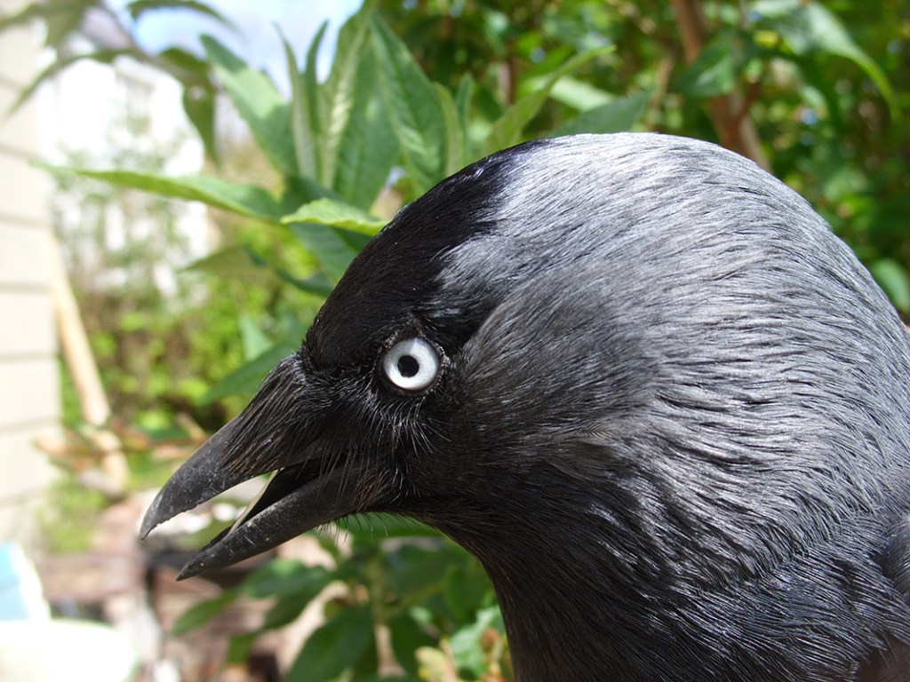 The pale eyed jackdaw