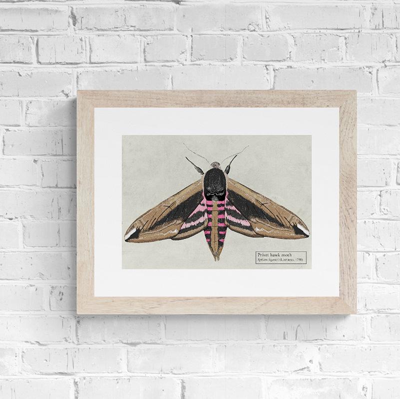 Privet Hawk Moth Fine Art Print