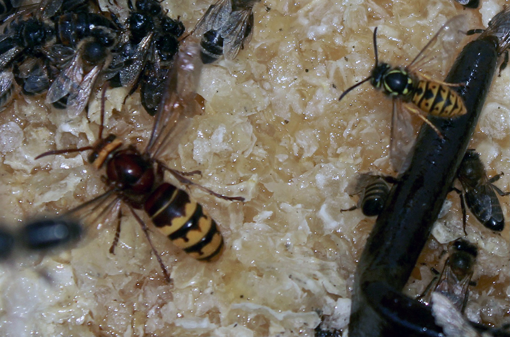 Wasp hornet and honey bees