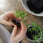 How to transplant seedlings separating cabbage seedlings life full and frugal
