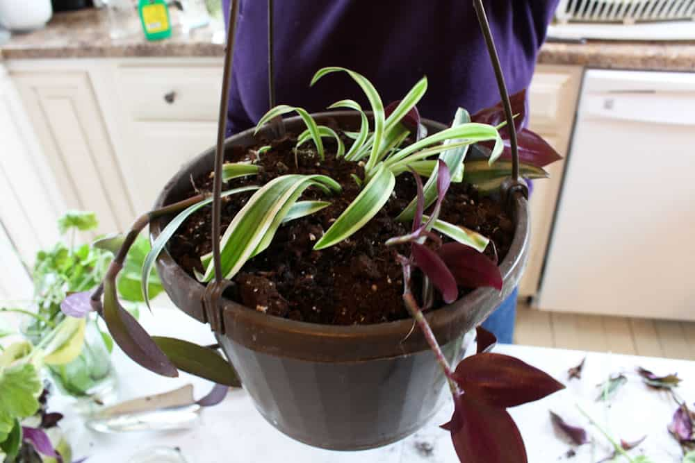 Hanging Baskets from House Plant Cuttings completed life full and frugal