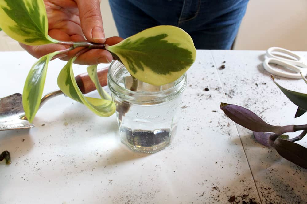 place the plant cutting in water life full and frugal