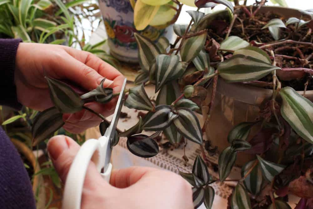 plant cuttings wandering jew life full and frugal
