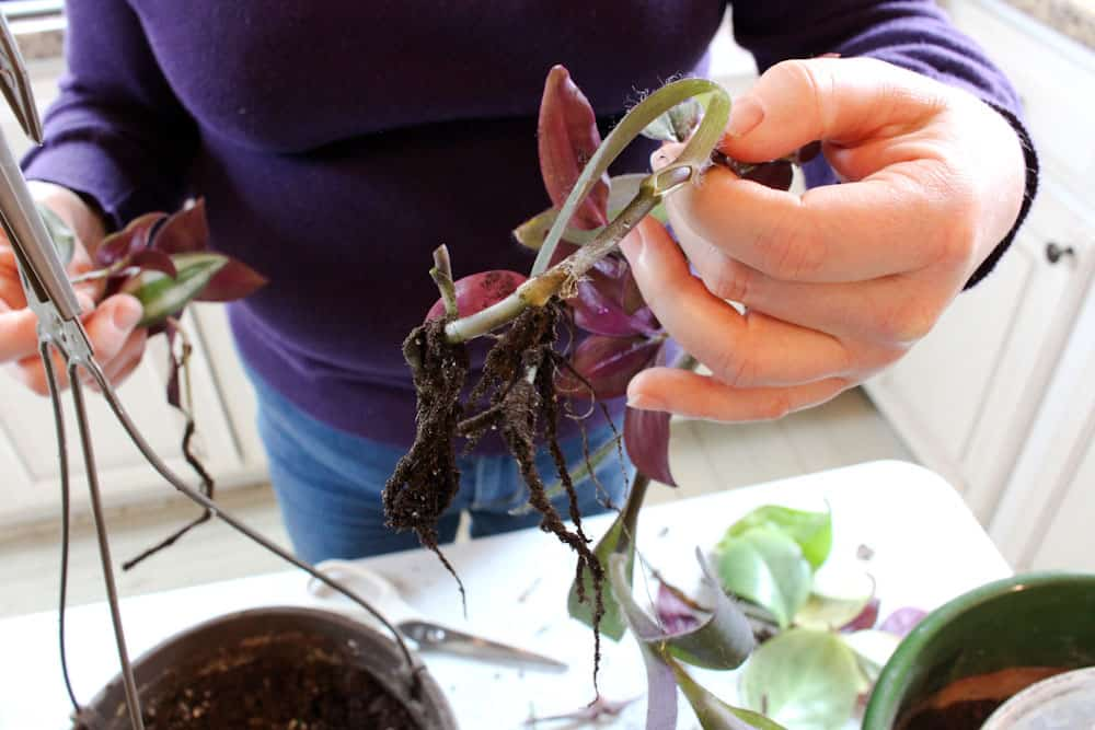 plant cuttings with new roots life full and frugal