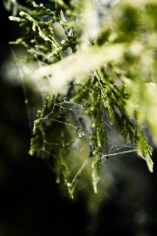 dark green juniper spider web