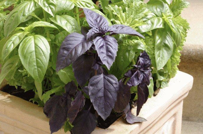 Базилик фиолетовый применение сорта полезные свойства и противопоказания