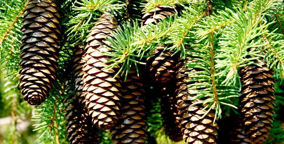 Варенье из сосновых иголок