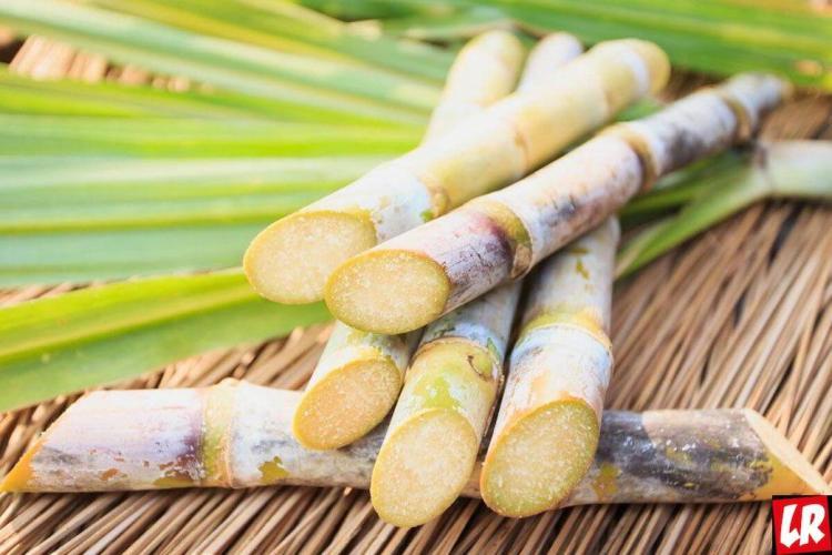Сахарный тросник