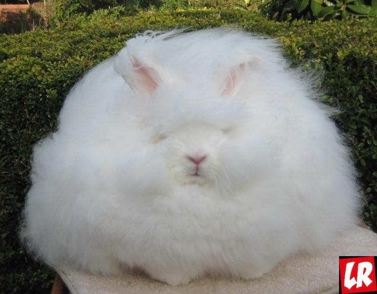 фишки дня - 27 сентября, день кроликов, ангорский кролик