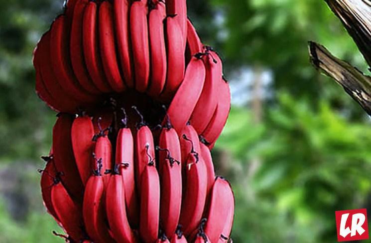 фишки дня - 27 августа, день любителей бананов США