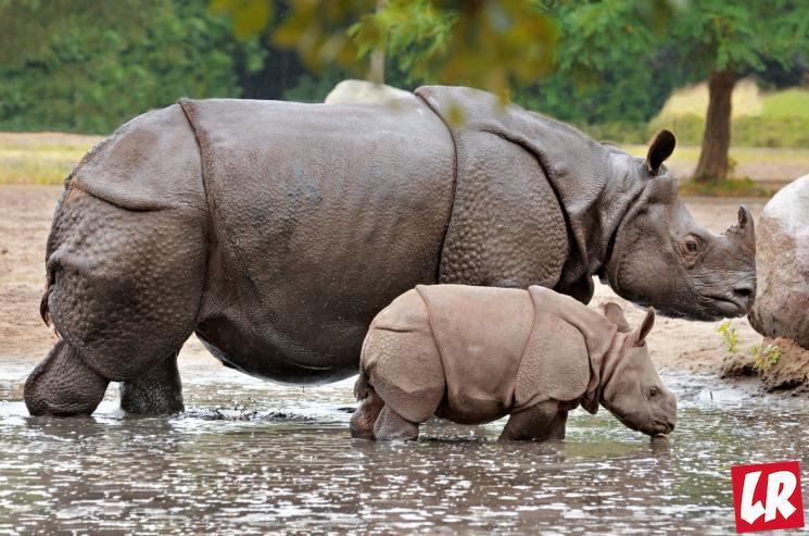 фишки дня - 17 августа, яванский носорог, день независимости Индонезии