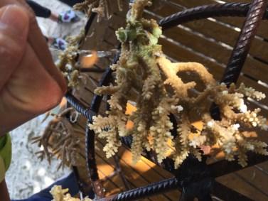 Sadzenie rafy koralowe. Ułamane fragmenty koralowca przyczepiamy do metalowej ramy.