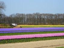 Beautiful fields of flowers near Lisse, The Netherlands