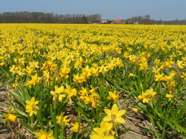 Daffodils as far as the eye can see. Lisse, The Netherlands