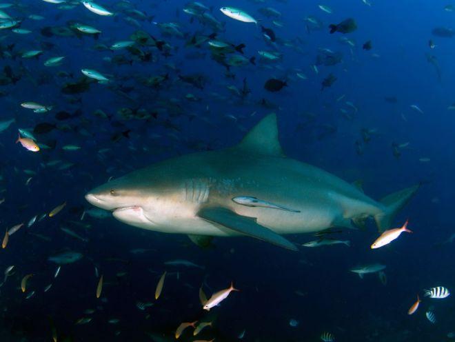 Bukasnukis ryklys - giluminis nardymas Fidžyje