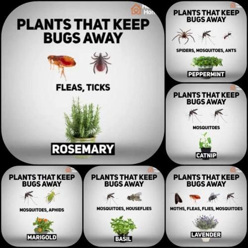 Natūralios priemonės nuo vabzdžių