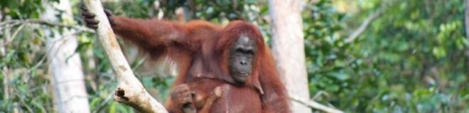 Borneo orangutanai – negali jų neįsimylėti