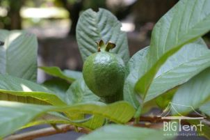 "Guava tree in front of ""big tent"""