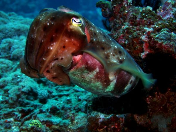 Cuttlefish - first diving in Bali