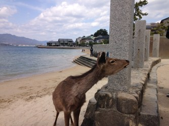 Deer on Miyajima Island, Japan