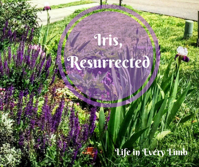 Iris, Resurrected