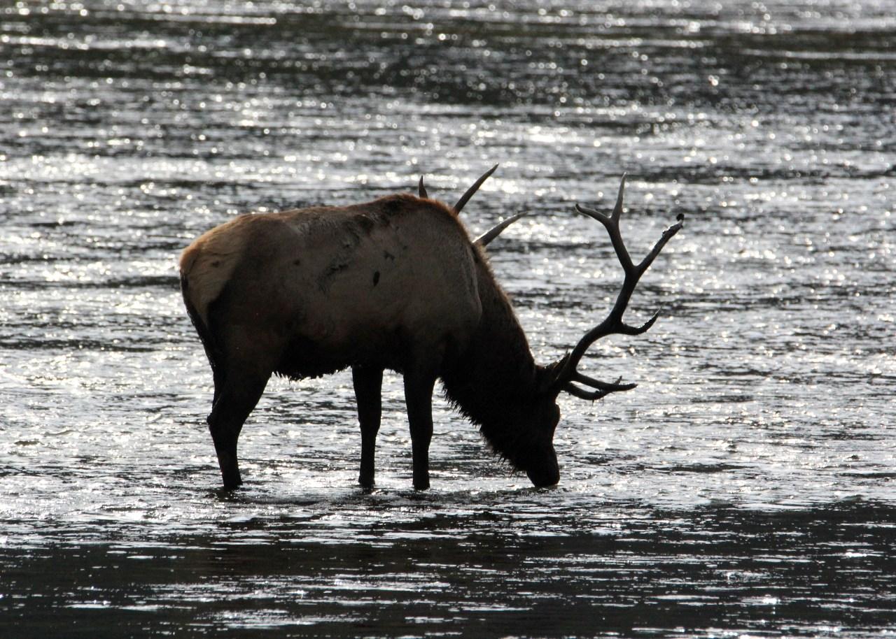 Bull Elk Water